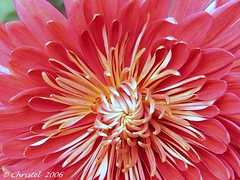 Chrysanthemum of October