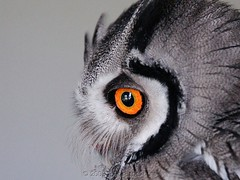 The Eye (Makgobokgobo) Tags: africa bird owl botswana captive ptilopsis southernwhitefacedowl ptilopsisgranti southernwhitefacedscopsowl specanimal animalkingdomelite whitefacedowl kazungula