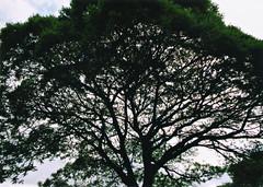 abrigante (drl.) Tags: tree brasil sopaulo ibirapuera canonae1 oca purged thattree purge422