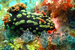 Nembrotha Kubaryana (Polyceridae) (Coppertane) Tags: ocean blue red sea macro green animals asia southeastasia underwater scuba diving malaysia scubadiving nudibranch colourful favourite animalplanet fins facebook dayang c5060wz physis nembrothakubaryana coppertane polyceridae megashot asiandiver