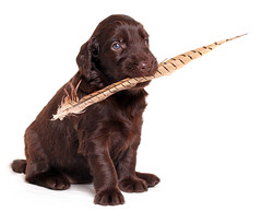 Bird Dog (Blazingstar) Tags: puppy interestingness pheasant feather retriever flatcoated liver fetch canonrebelxt blazingstar 35weeksold huxleyxlupinepuppies diamondclassphotographer