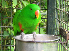 Hello Again, Mr. Eclectus! (Paula Bird Parent) Tags: green bird birds parrot surrey aviary parrots farnham eclectus aviaries birdworld eclectusparrot eclectusparrots holtpound