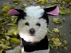 dog halloween costume sammy skunk