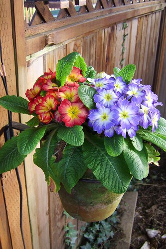 Primroses on Back Fence