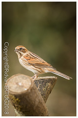 Reed Bunting (Female)  / Emberiza Schoeniclus – Taken at Nene Country Park (I'll catch up with you later, your comments and cr) Tags: nikkor200500mmf56eafsed nikond610fx wildlifephotography birdphotography fallowdeer nature watcher ferrymeadowscountrypark rertug
