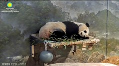 2018_03-16f (gkoo19681) Tags: beibei chubbycubby fuzzywuzzy adorableears naptime curledup angelic toocute comfy adorable precious stillababy allbetter ccncby nationalzoo