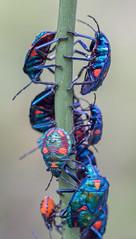 Hibiscus harlequin bugs (keithhorton3) Tags: hibiscus bugs cotton harlequin nature australia blue insects