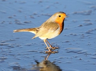 Robin on ice - Slimbridge WWT