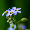 Forget-Me-Not with Waterdrops (Marcello Velasco) Tags: macrophotograph macrophotography macrophotographer forgetmenot flower flowerphotography water waterdrop waterdrops