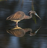 TriColor Heron And Reflection (J Baker Photography) Tags: florida wetlands wadingbirds reflection tricolor heron