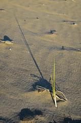 Long Shadow (cutthroatsrule) Tags: grass dunegrass shadow sand beach washington green