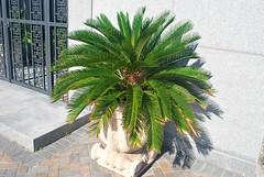 Key West (Florida) Trip 2017 0208Ri 4x6 (edgarandron - Busy!) Tags: florida keys floridakeys keywest keywestcemetery cemetery cemeteries grave graves
