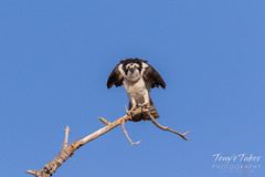 Male Osprey landing sequence - 27 of 28
