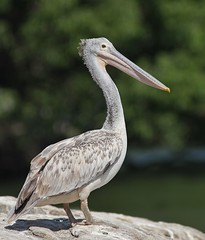 Spot-Billed Pelican (SivamDesign) Tags: canon eos 550d rebel t2i kiss x4 300mm tele canonef300mmf4lisusm kenko pro300 caf 14x teleplus dgx bird fauna spotbilled pelican spotbilledpelican greypelican pelecanusphilippensis ranganathittu