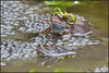 Common Frog (image 2 of 3) (Full Moon Images) Tags: garden pond wildlife nature amphibian common frog mating frogspawn cambridgeshire