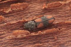 Bitoma crenata (Radim Gabriš) Tags: coleoptera cucujoidea colydiidae zopheridae bitoma bitomacrenata