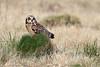Short eared Owl (Ady G.) Tags: asio wildlife 1d4 owl shortearedowl asioflammeus portland dorset 500f4 1dmkiv canon
