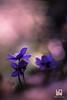 SIMPATICA (Lace1952) Tags: fiori primavera bosco sottobosco muschi epatica hepaticanobilismiller luce controluce sfocato bokeh panasonicg3 nikkor85mmf1e8