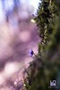 PENDENZA (Lace1952) Tags: fiori primavera bosco sottobosco muschi epatica hepaticanobilismiller luce controluce sfocato bokeh panasonicg3 nikkor85mmf1e8