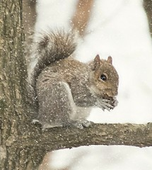 Why is it Snowing? (ksharp2) Tags: winter snowing snow squirrel nature wildlife