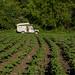Plantação de batatas onde vieram pulverizar a noite
