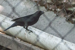 Bronzed Cowbird (steve happ) Tags: bronzedcowbird chiapas mexico molothrusaeneus tuxtlagutierrez