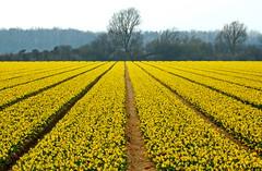 Happy easter to you all! (Corine Bliek) Tags: flower flowers bulbs bollen bloem bloemen bollenvelden bulbfields