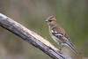 Pinson des arbres (gilbert.calatayud) Tags: commonchaffinch fringillacoelebs fringillidés passériformes pinsondesarbres bird oiseau busque tarn occitanie