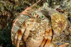 PALE ANEMONE HERMIT CRAB (Sonja Ooms) Tags: animal aqaba crab dardanus dardanusdeformis deformis egypt green gulfofaqaba hermitcrab macro nature nuweiba pale paleanemonehermitcrab sinai underwater anemone hermit