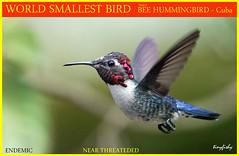 PREVIEW : SMALLEST BIRD ON EARTH - male Bee Hummingbird - [ Zapata National Park, Cuba ] (tinyfishy's World Birds-In-Flight) Tags: bird bee hummingbird endemic near threatened