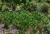 Крассула алая, Crassula Coccinea, Flaming Fire Jade (Oleg Nomad) Tags: африка юар кейптаун кирстенбош ботаническийсад растения цветы протея africa capetown kirstenbosh botanicalgarden vegetation flowers protea travel