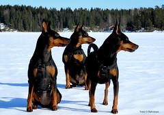 On tour in the Easter sun! (Toini O Halvorsen) Tags: ice dog dogs pet easter