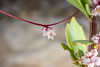 Cuscuta epithymum (Senderisme Botànic) Tags: angiospermae cepithymum convolvulaceaefam cuscuta epitim florblanca hyla llinnaeuscarlvonlinneo naturalezapepferrer plantae solanales spermatophyta valencia