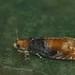 Lepteucosma huebneriana