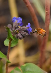 HFFB2_filtered (Sanglier58) Tags: hairy footed flower bee anthrophora plumipes