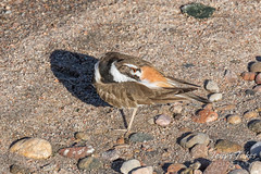 Preening Killdeer