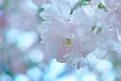 Japanese cherry 楊貴妃 (uko2) Tags: canon canoneos7dmark canonef100mmf28macrousm canon7dm2 flowers sakura 楊貴妃 sigmadp2merrill sigma foveon dp2merrill japan cherry flower macro blossom ngc