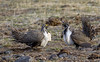greater sage grouse (Pattys-photos) Tags: greater sage grouse pattypickett4748gmailcom pattypickett
