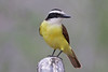 Great Kiskadee (Alan Gutsell) Tags: bird birds photo wildlife nature canon texasbirds texas southtexasbirds south rio grande great kiskadee greatkiskadee flycatcher fly