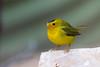Wilson's Warbler (Susan Jarnagin) Tags: bird cochisestronghold wilsonswarbler cochisecounty warbler cardellinapusilla az arizona