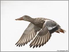 Northern Shoveler Female (pandatub) Tags: bird birds duck northernshoveler baylands paloalto