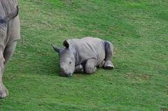 DSC_5242 (Andrew Nakamura) Tags: animal mammal rhino rhinoceros whiterhino southernwhiterhinoceros lyingdown sandiegozoosafaripark safaripark escondido rhinocalf