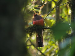 Ward's Trogon (Mark Gurney) Tags: bird taxonomy:class=aves taxonomy:family=trogonidae taxonomy:binomial=harpacteswardi