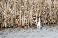 R18_3604 Courtship Great crested grebe (ronald groenendijk) Tags: cronaldgroenendijk 2018 greatcrestedgrebe podicepscristatus rgflickrrg animal bird birds copyrightronaldgroenendijk fuut grebe nature natuur natuurfotografie netherlands outdoor ronaldgroenendijk vogel vogels water