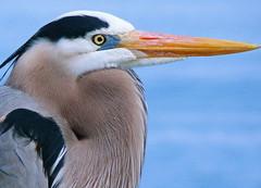 Great White Heron (npbiffar) Tags: bird animal outdoor water portrait npbiffar heron great fz100 lumix beak feathers