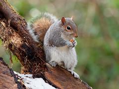 Grey Squirrel at Titchfield Haven (martin_swatton) Tags: grey squirrel titchfield haven hampshire uk wildlife olympus omd em1 mkii mzuiko 300 f4 pro