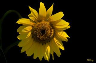 van-Gogh-sunflower_DSC4590