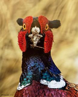 Portrait of a pleasant Pheasant