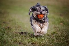 12/52 - Run, Teddy, Run! (Kirstyxo) Tags: teddy cute dog sweet action ball playing chuckit 1252 52weeksfordogs 52weeksfordogs18 52weeksfordogs2018