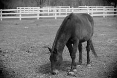Horse, Danada Forest Preserve. 23 (EOS) (Mega-Magpie) Tags: canon eos 60d outdoors danada forest preserve horse equine fence bw black white mono monochrome wheaton dupage il illinois usa america